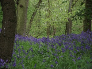 Bluebells in Alne Wood